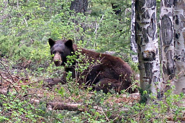 This is the black bear native to Colorado.