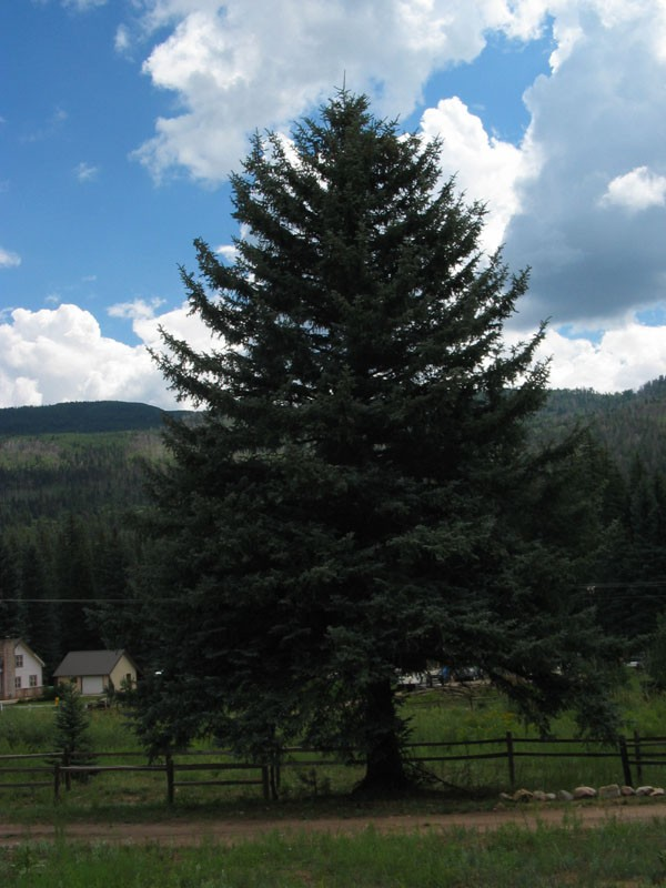 This blue spruce tree is typical of the area