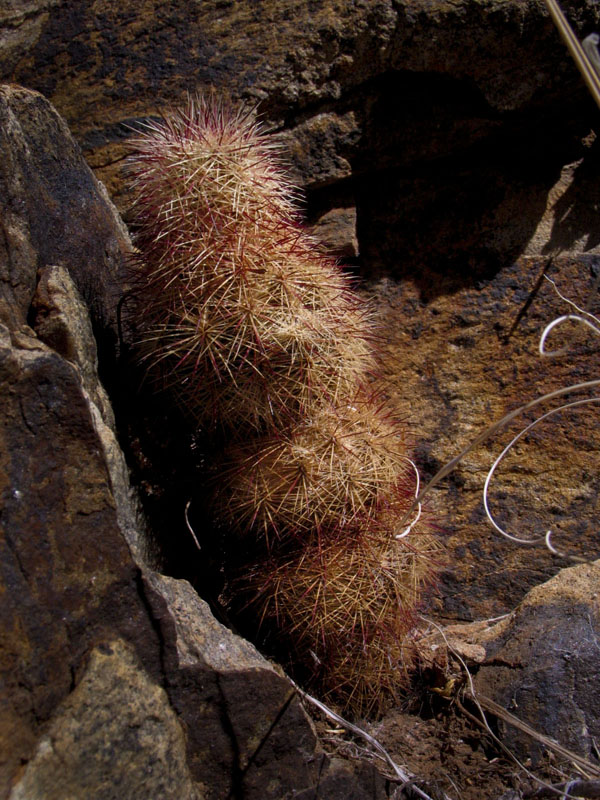 A very small but intriguing cactus snuggled into the rocky mountain side
